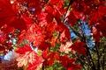 Картинка клен, ветки, макро, листья, осень