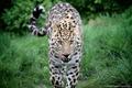 Картинка язык, морда, хищник, леопард, прогулка, дикая кошка