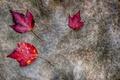 Картинка осень, листья, камень, багрянец
