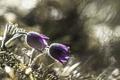 Картинка grass, травка, цветение, blossom, Анемоны, Anemones