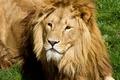 Картинка кошка, лев, грива