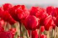Картинка цветы, тюльпаны, природа