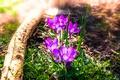 Картинка весна, крокусы, бревно