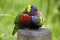 Картинка цвет, перья, клюв, попугай, пара