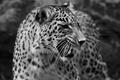 Картинка хищник, леопард, черно-белое