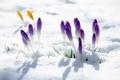 Картинка макро, снег, перелеска, печеночница