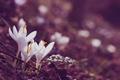 Картинка цветы, крокусы, белые