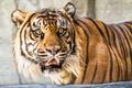Картинка взгляд, тигр, зверь