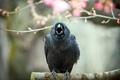 Картинка природа, птица, crow