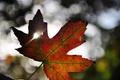 Картинка осень, свет, лист, клен