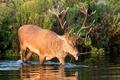Картинка осень, язык, заросли, олень, рога, водоем, гримаса