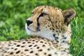 Картинка кошка, морда, гепард, профиль, ©Tambako The Jaguar