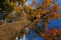 Картинка осень, небо, листья, дерево, ствол, крона