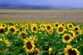 Картинка поле, подсолнухи, пейзаж, цветы