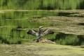 Картинка озеро, пруд, птица, крылья, бревно, взмах, баклан