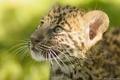 Картинка мордочка, леопард, котёнок