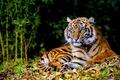 Картинка лес, животные, трава, Тигр