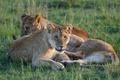 Картинка трава, кошки, отдых, львы, троица