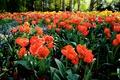 Картинка лето, цветы, лепестки, тюльпаны, оранжевые
