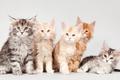 Картинка котята, мейн-кун, квинтет