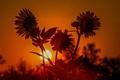 Картинка подсолнух, солнце, цветы, закат