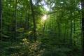 Картинка листья, лес, свет, лучи, деревья