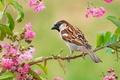 Картинка птица, ветка, воробей, цветки