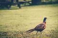 Картинка трава, перья, фазан
