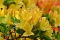 Картинка листья, цветы, ветка, Азалия