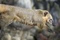 Картинка носуха, прыжок, профиль, ©Tambako The Jaguar, коати
