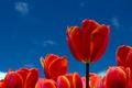 Картинка тюльпаны, лепестки, небо, цветы