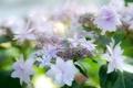 Картинка лето, цветы, белые, гортензия