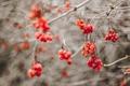 Картинка ягоды, осень, природа