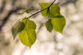 Картинка листья, ветка, природа
