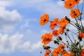 Картинка краски, лепестки, небо, природа, космея, стебель, облака
