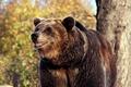 Картинка дерево, медведь, зверь
