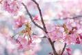 Картинка весна, ветка, вишня, цветы