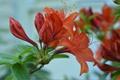 Картинка листья, цветы, красная, бутоны, азалия