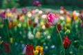 Картинка природа, парк, тюльпан, лепестки, сад, луг