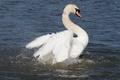 Картинка белый, брызги, крылья, грация, лебедь