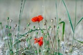 Картинка поле, трава, макро, цветы, колос, мак, луг