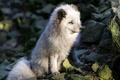 Картинка Arctic Fox, фон, природа