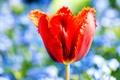 Картинка цветок, природа, растение, тюльпан, лепестки
