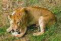 Картинка язык, кошка, трава, взгляд, львица
