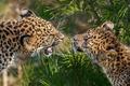 Картинка животные, природа, хищники, леопард, хвоя, зоопарк, сосна