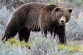 Картинка Yellowstone, Lamar Valley, brown bear