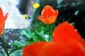 Картинка красные, тюльпаны, лепестки, цветы