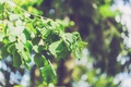 Картинка листья, ветка, береза
