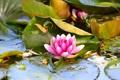 Картинка листья, вода, водяная лилия