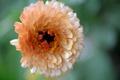 Картинка цветок, вид сверху, календула, макро